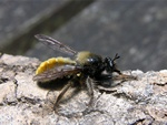 Laphria flava